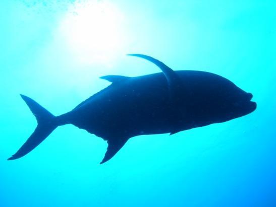 グアム ダイビングポイント ギャブギャブⅡ >潜水艦に遭遇できる珍しいポイント